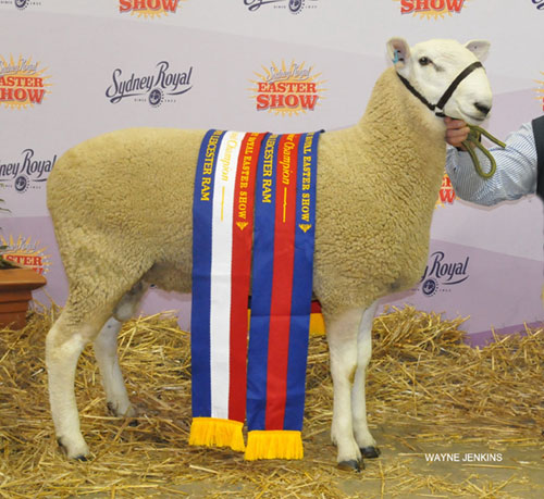 2016_SYDNEY_ROYAL_CHAMPION_RAM.JPG